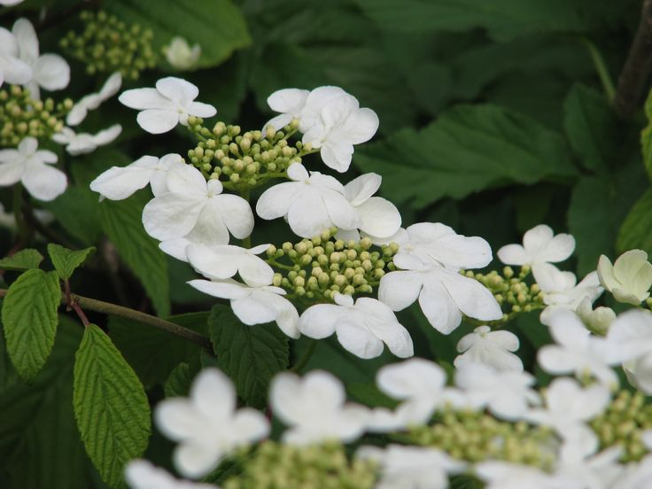 205 best Viburnum images on Pinterest Cranberries Shrubs and