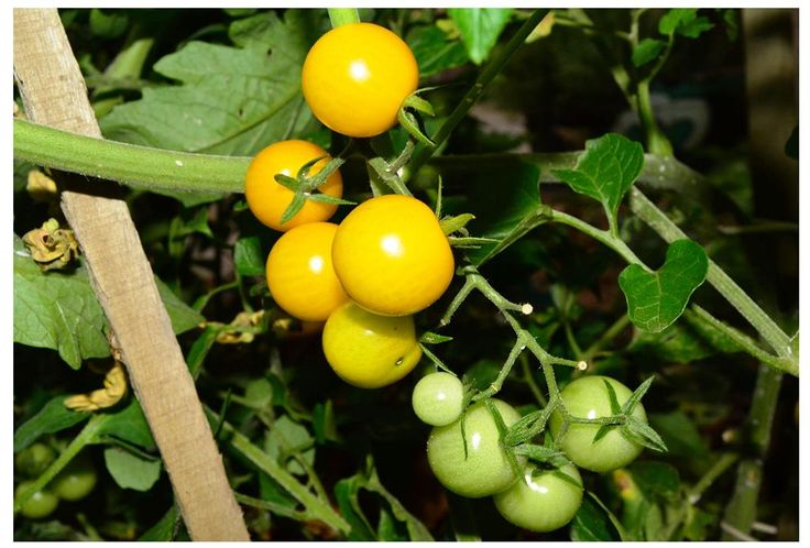 Tomatoes,Lycopersicon esculentum, Golden Nugget variety