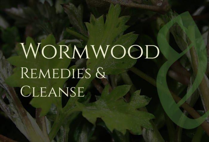 فوائد الشيح العلاجات والتطهير Wormwood Benefits Artemisia Absinthium Digestive Health