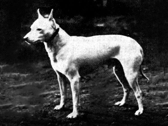 English White Terrier This now extinct breed was invented in the early 1860s and was later used to help develop the Fox terrier, Jack Russell terrier, Sealyham terrier, Boston terrier, and the Rat terrier. Unfortunately, due to genetic problems the breed disappeared at around the turn of the century. This picture was taken in 1890 http://en.wikipedia.org/wiki/English_White_Terrier