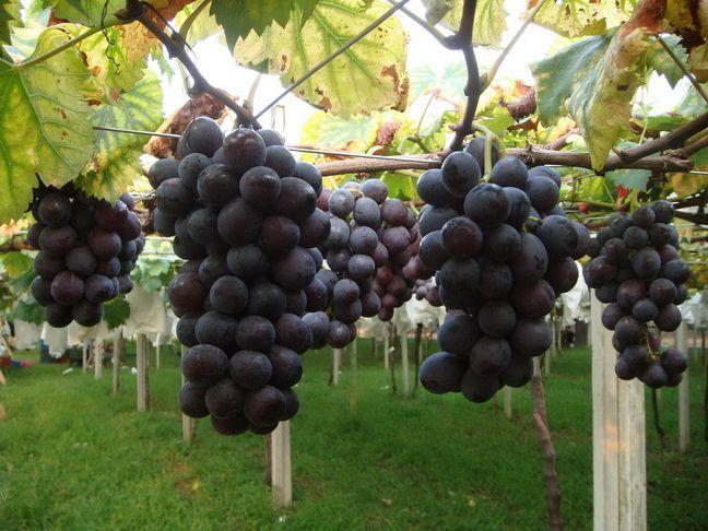 新峰农场~~採葡萄