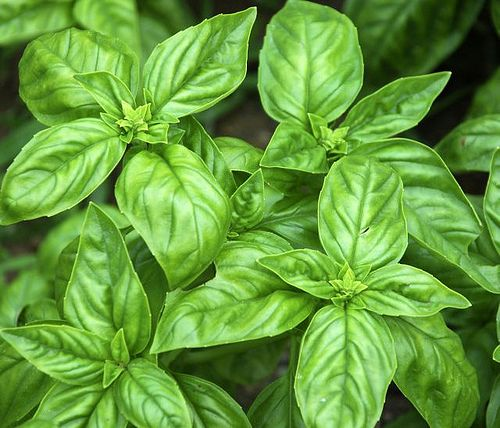 Basil  plant after weather warms up (usually mid May) because basil HATES the cold. Plants lots for all summer harvest and preserving. Doesn't grow well indoors in winter