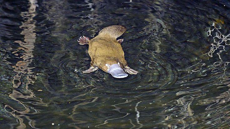 Der Eier legende Schlangen-Biber?Wohl kaum ein anderes Tier wirkt mehr wie eine wilde Legosteckspiel-Kombination als das Schnabeltier: Den Schnabel einer Ente, den Schwanz eines Bibers, Schwimmhäute wie ein Otter, giftig wie eine Schlange und legt Eier wie ein Huhn. Hier scheint sich die Natur mal so richtig ausgetobt zu haben. Im heimatlichen Australien ziert das kuriose Tier die 20-Cent-Münze.