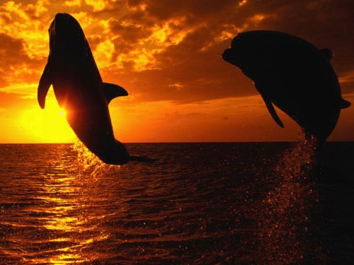Dolphins: Mothers Earth, Sunsets, Dolphins, Beautiful, Desktop Wallpapers, Father Daughters, Life Aquatic, Ocean Life, Animal