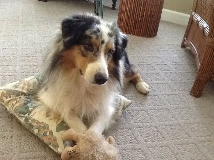 Indy playing with his sheep.  2 Cute!!!