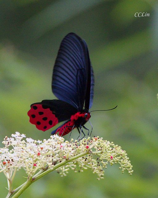 Butterfly endemic to Taiwan