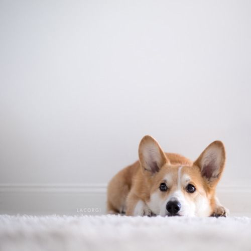 Geordi La Corgi — Feeling pretty sorry for himself because he didn't...