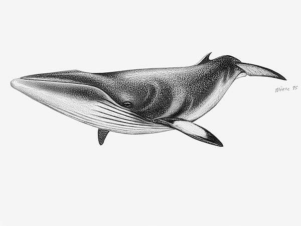ballena minke, balaenoptera acutorostrata