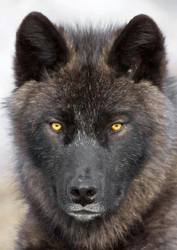 .You haven't truly experienced the beauty and last true essence of the wild, until you've looked into the eyes of the wolf.