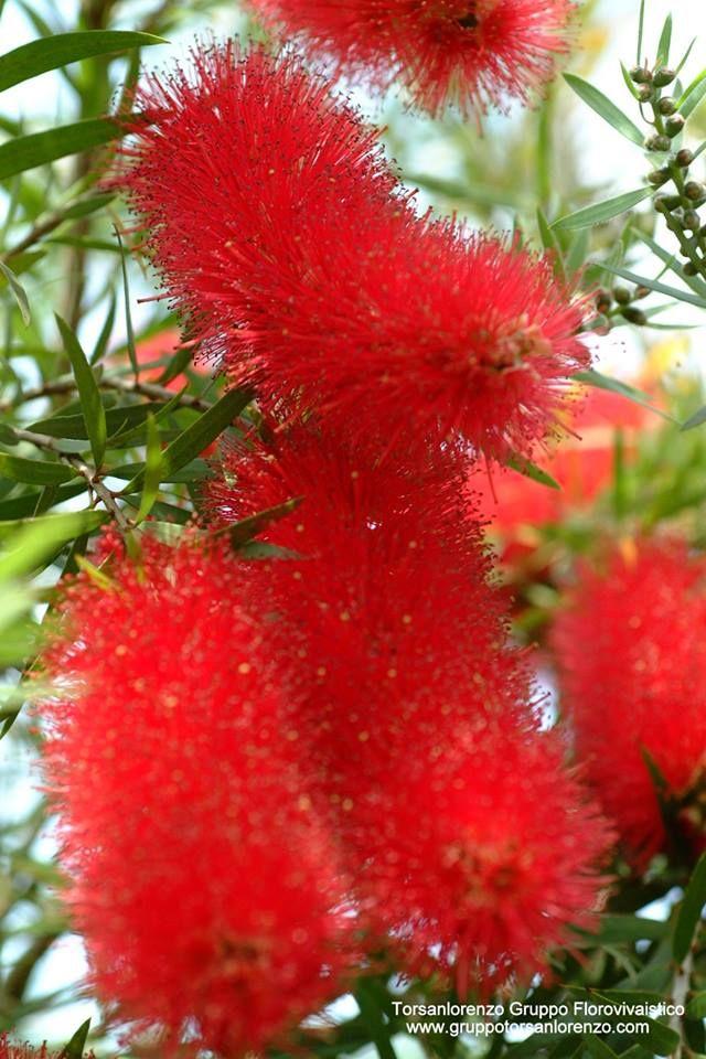 #Callistemon viminalis... Moltissimi #piumini costituiti da numerose piccole infiorescenze  #rosse #rouge #Fleurs #arbustres #green #Flower