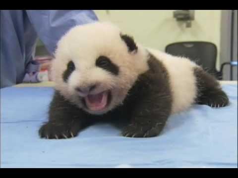 77 besten love pandas bilder auf pinterest pandab ren pandababys und riesenpandas. Black Bedroom Furniture Sets. Home Design Ideas