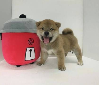 Shiba Inu puppy for sale in LOS ANGELES, CA. ADN-62900 on PuppyFinder.com Gender: Male. Age: 8 Weeks Old