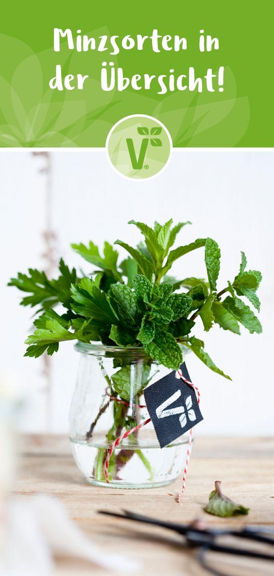 Minzsorten in  der Übersicht! Kräuter Pflanzen für Garten & Balkon. Pflanzideen für die Kräuterecke!