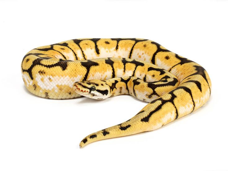 Bumble Bee BP Snake. Hopefully we'll have some next year!