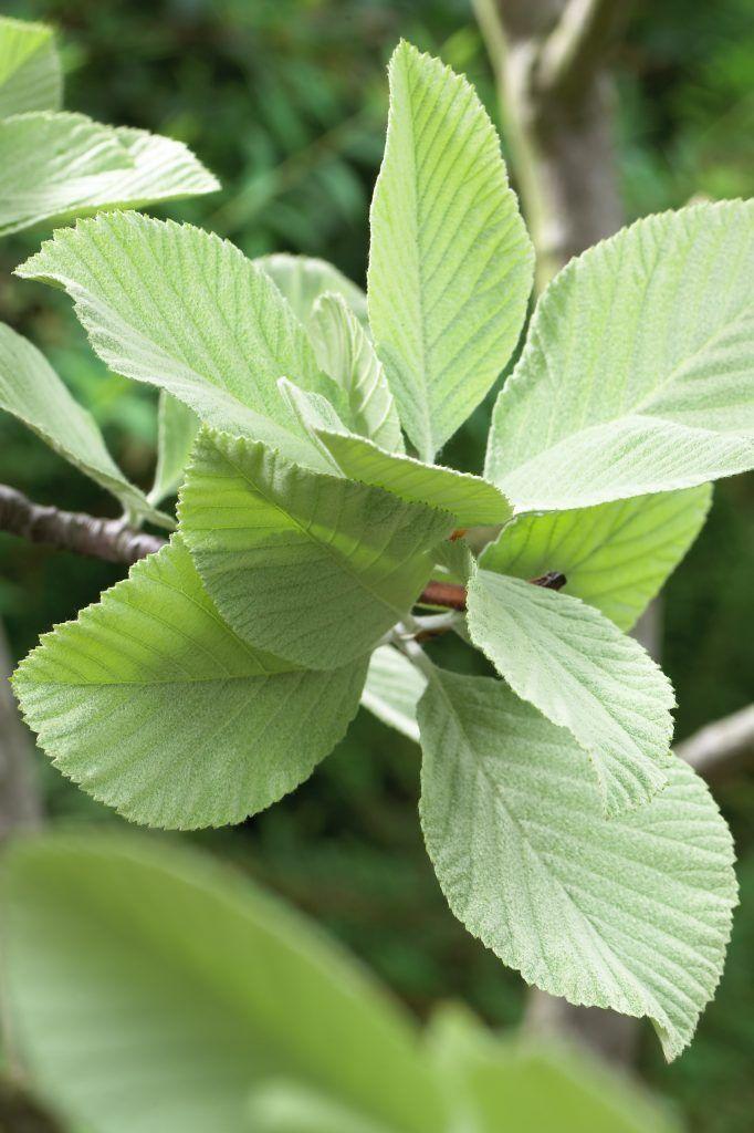 Echte Mehlbeere • Sorbus aria • Pflanzen & Blumen • 99Roots.com