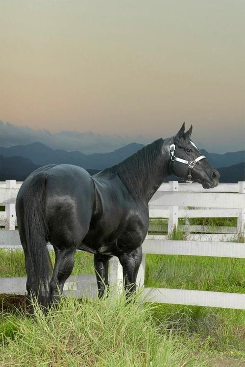 Black Quarter Horse Stallion. He should have babies with Jessie!