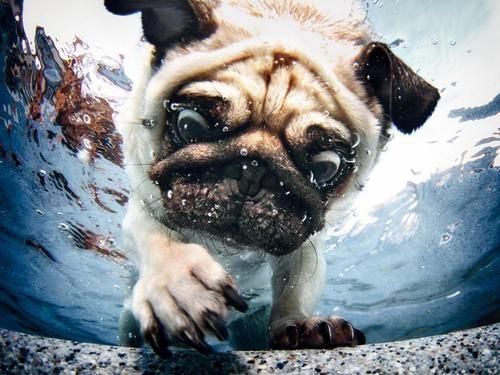 Underwater adventurer pug