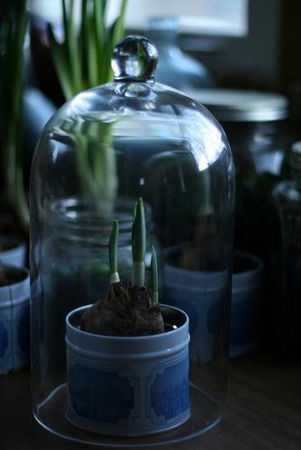 plant in a cloche