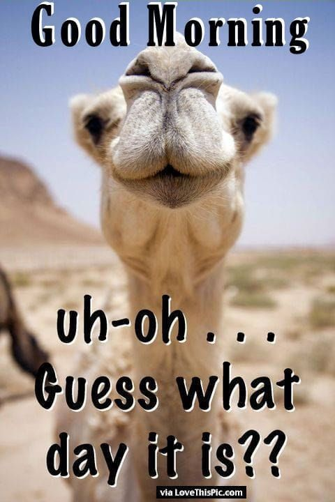 Happy Hump Day Wednesday Humpday Funny Wednesday Memes Happy Wednesday Quotes Good Morning Funny
