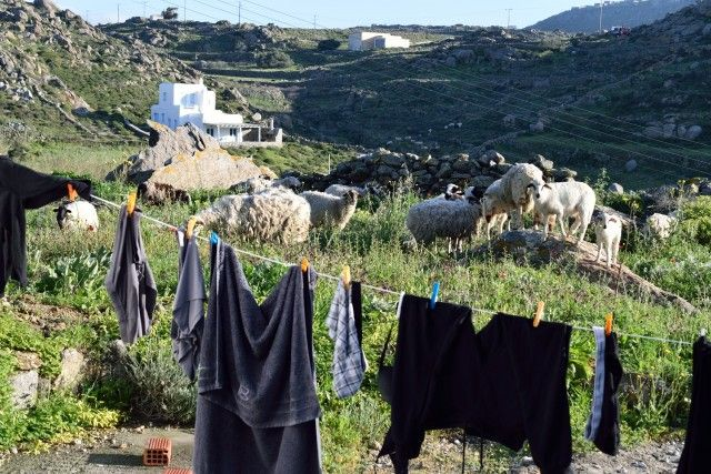 The other Mykonos – pure nature Sheep in my garden..