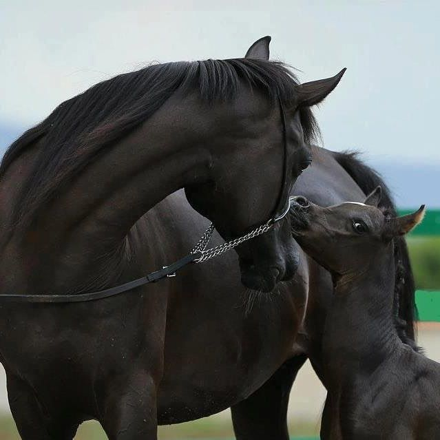 Cute little black foal and mare. Look at that adorable face! So sweet!