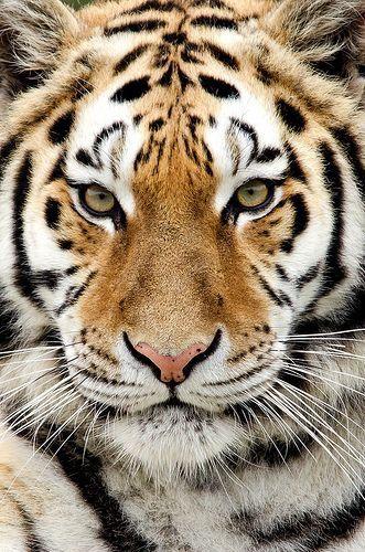 Le félins qui est le plus présent dans les carnivores c'est celui qui n'as peur de rien du tout
