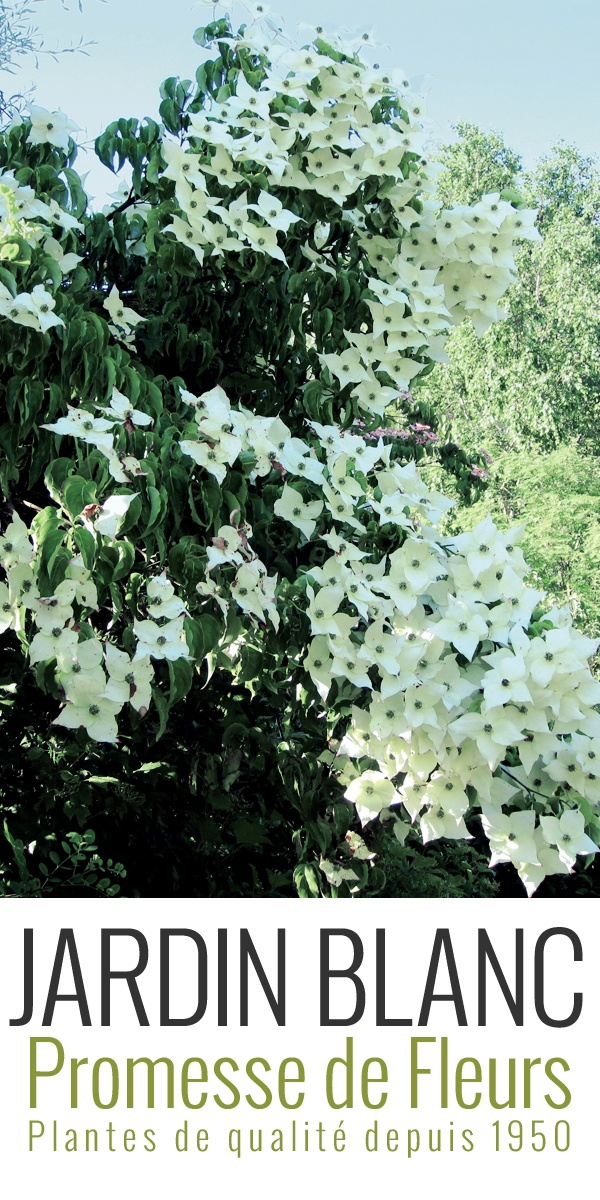 Cornus Kousa var. Chinensis Great Star  D'une extrème élégance, ce cornouiller est une obtention de la Princesse Sturdza au Jardin du Vasterival. Il allie la beauté des Cornus Kousa à une grande longévité de floraison, de Juin à Août.