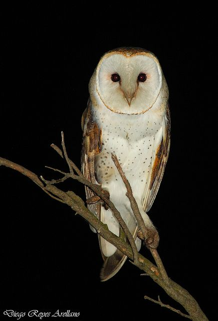 Lechuza (Tyto alba) by Diego Reyes Arellano, via Flickr