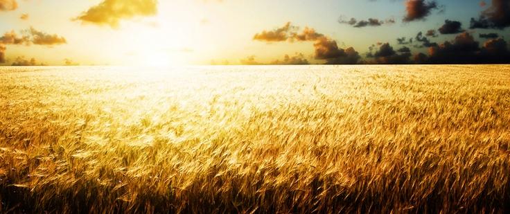 campo di grano, irsina