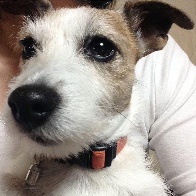 おはようございます😃今日も抱っこちゃんくーさん(ᵔᴥᵔ)は甘えん坊さんです❤️#ジャック #ジャックラッセル部 #ジャックラッセルテリア #ジャックラッセルテリア部 #愛犬