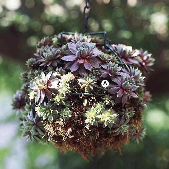 succulent basket: Gardens Ideas, Succulents Plants, Stunning Hanging, Drought Resistance Succulents, Drought Resistance Plants, Chick Sempervivum, Baskets Ideas, Hanging Baskets, Succulents Hanging