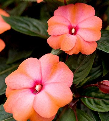 New Guinea Impatiens  'Paradise Mango Orange' - Large flowers on a 16 inch mounding plant make this an   outstanding choice for beds or containers.