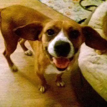 Puggle dog for Adoption in Cincinnati, OH. ADN-480708 on PuppyFinder.com Gender: Female. Age: Adult