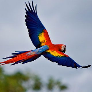 Red Macaw Parrot Flying Scarlet-Macaw flying o...