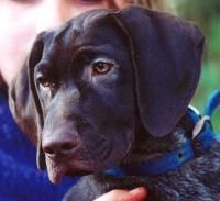 German Shorthaired Pointer Puppies Breeders Shorthaired Pointers