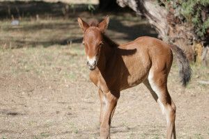 AZ Gov Officially Signs Wild Horse Protection Bill! Photo by Julie Bradshaw of Salt River Wild Horse Management Group