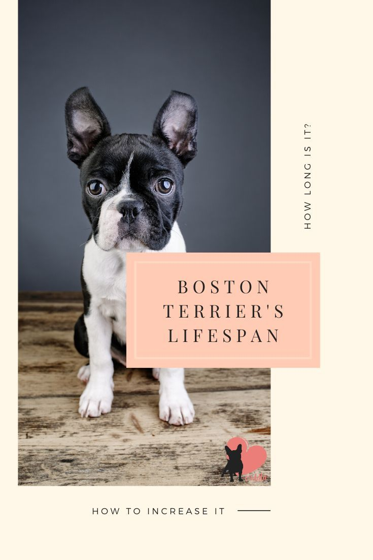 How Long Is A Boston Terrier S Lifespan 8 Longevity Tips Boston Terrier Terrier Most Cutest Dog