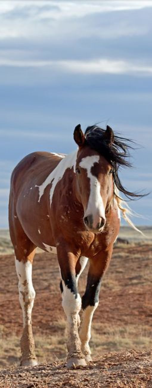 Equine - Wild mustang - Pinto/Paint horse