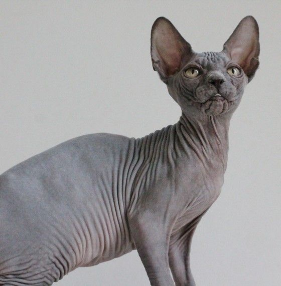 Sphynx Cats For Sale Florida