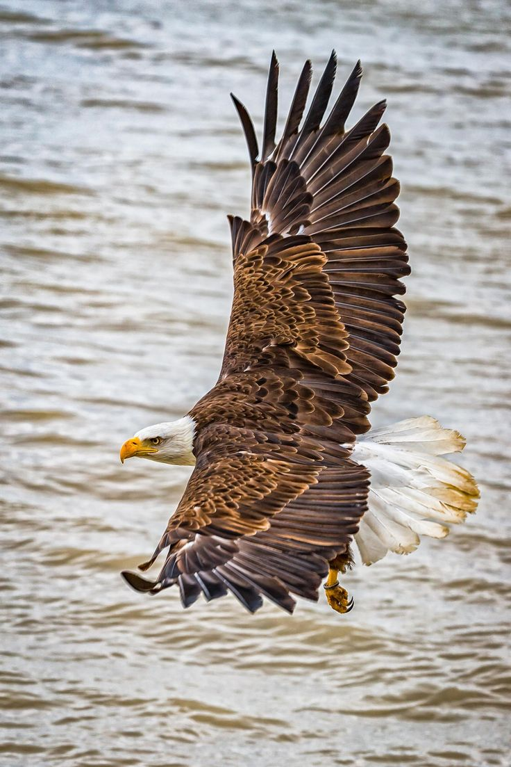 In flight - Bald eagle in flight.