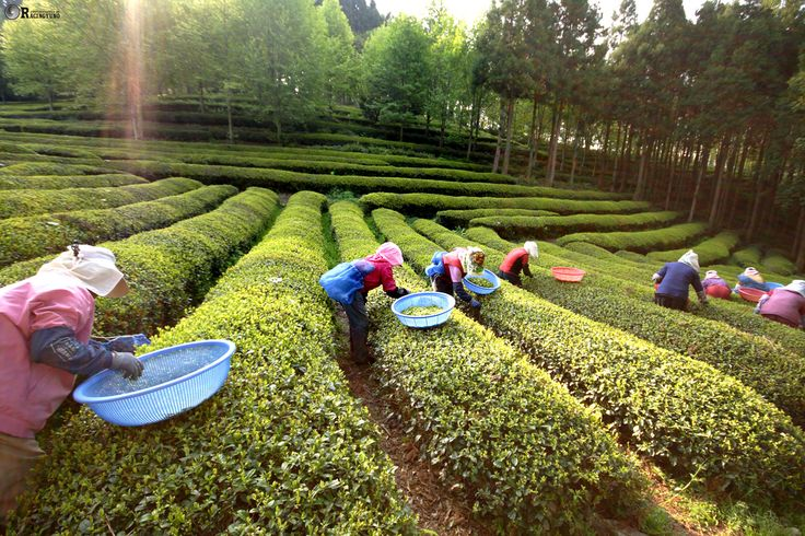 There are plenty of hands-on programs prepared for participants: tea leaf harvest, green tea making, beauty care with green tea, green tea cookie baking, green tea soap making, learning etiquettes of drinking tea, hanji (Korean traditional paper) craft, natural dyeing, green tea tasting, etc.