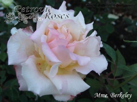 Mme. Berkeley | Petrovic Roses