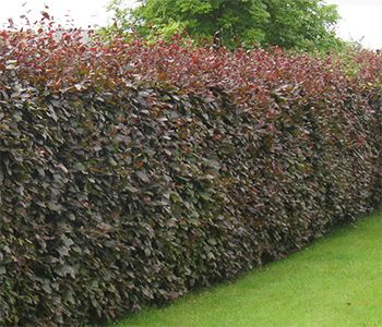 Purple Beech Hedging Shrub (Fagus sylvatica Purpurea): Oh, lovely memories of English country walks :)