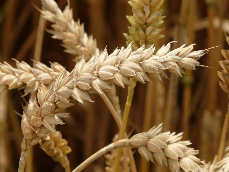 Обзор прессы урожай зерна СНГ без Украины и робот Федор - ОмскРегион