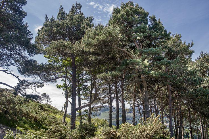 Forest   Bray Head, Ireland