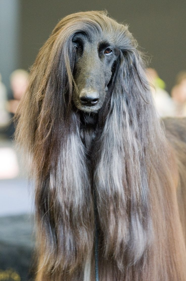 afghan hounds blue eyes - Google Search