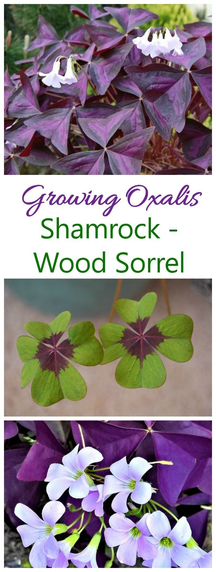Growing oxalis outdoors or inside as a house plant is easy. #oxalis #woodsorrel #falsesharmrock