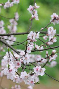 Les cerisiers sont en fleurs au Guizhou