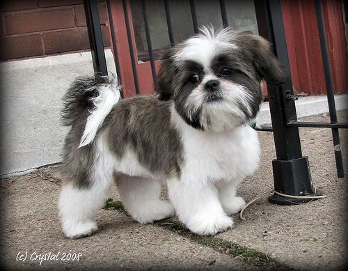 shih tzu short hair styles 1000 images about shih tzu pictures on shih 7037 | 6d68414f5f878dece067b10eb92bb83d
