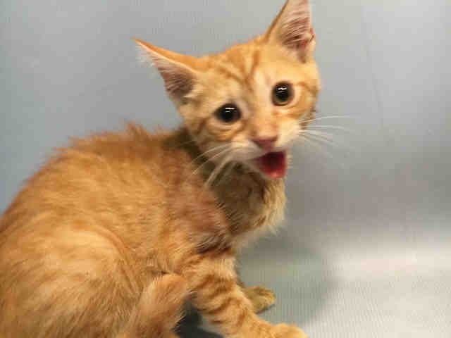 FAIRY - A1081358 - - Brooklyn  Please Share:    ***TO BE DESTROYED 07/19/16***Thirteen week old Fairy was brought into the shelter system with a half dozen littermates. He and the rest of his posse were already altered by the finder when they arrived at the Brookyn Center. Fairy is a bit perplexed by his current situation; but, is doing fairly well in the shelter system. Unfortunately, he caught the dreaded shelter cold and now he must make a fast exit. Fairy needs a Fairy